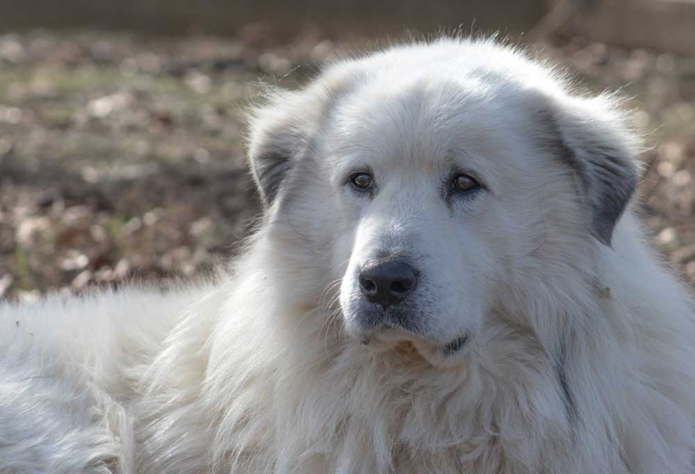 close up of Great Pyrenees outdoors