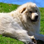 Great Pyrenees laying in grass on a hill