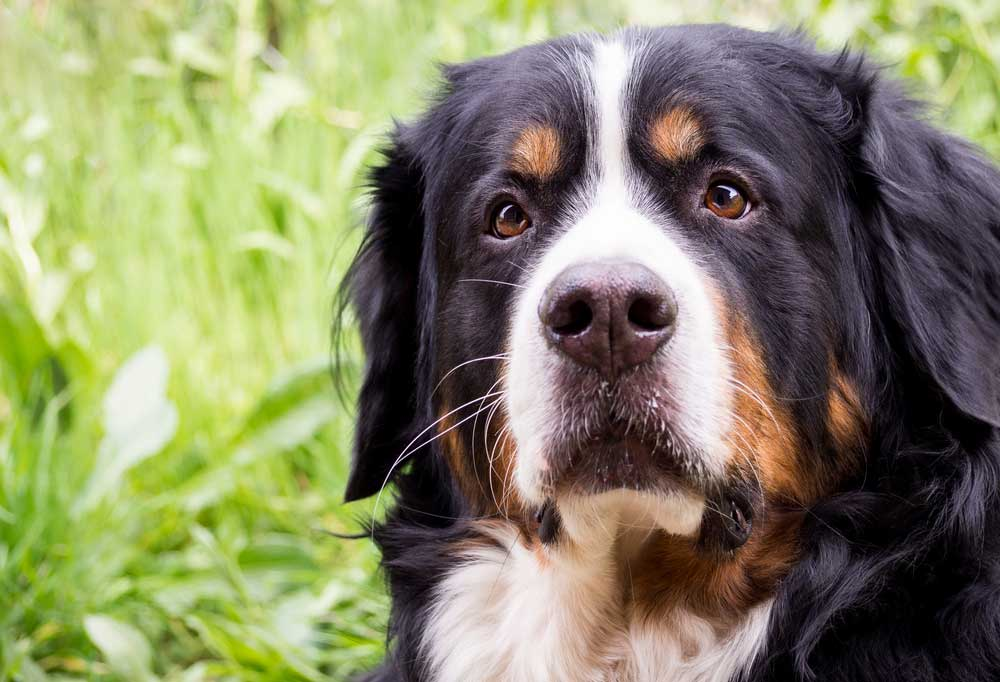 Close up of Greater Swiss Mountain Dog laying in grass