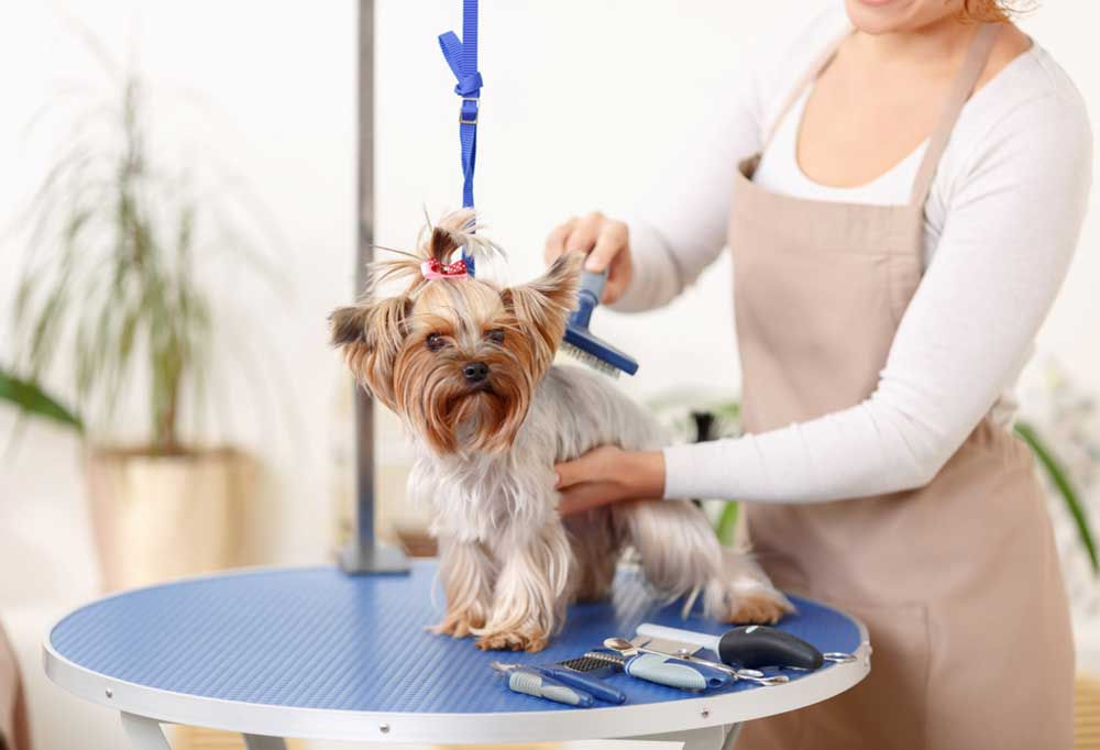 Yorkie being groomed on a blue round table