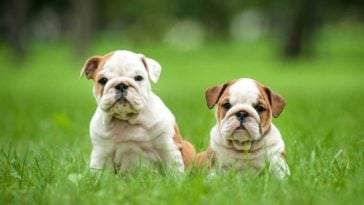 2 bulldog puppies sitting in thick grass