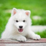 White fuzzy puppy with front paws on picnic table