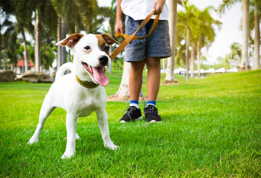 jack russell puppy on a leash in a park