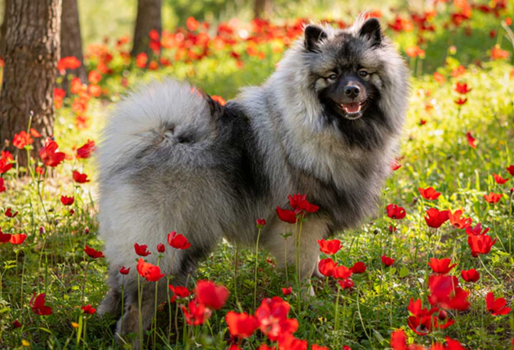 Keeshond standing in a field of red flowers