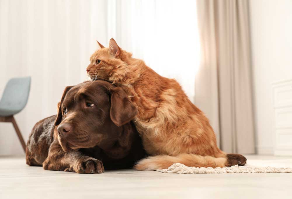 Chocolate Labrador Retriever with orange cat leaning on its head,  laying on floor.