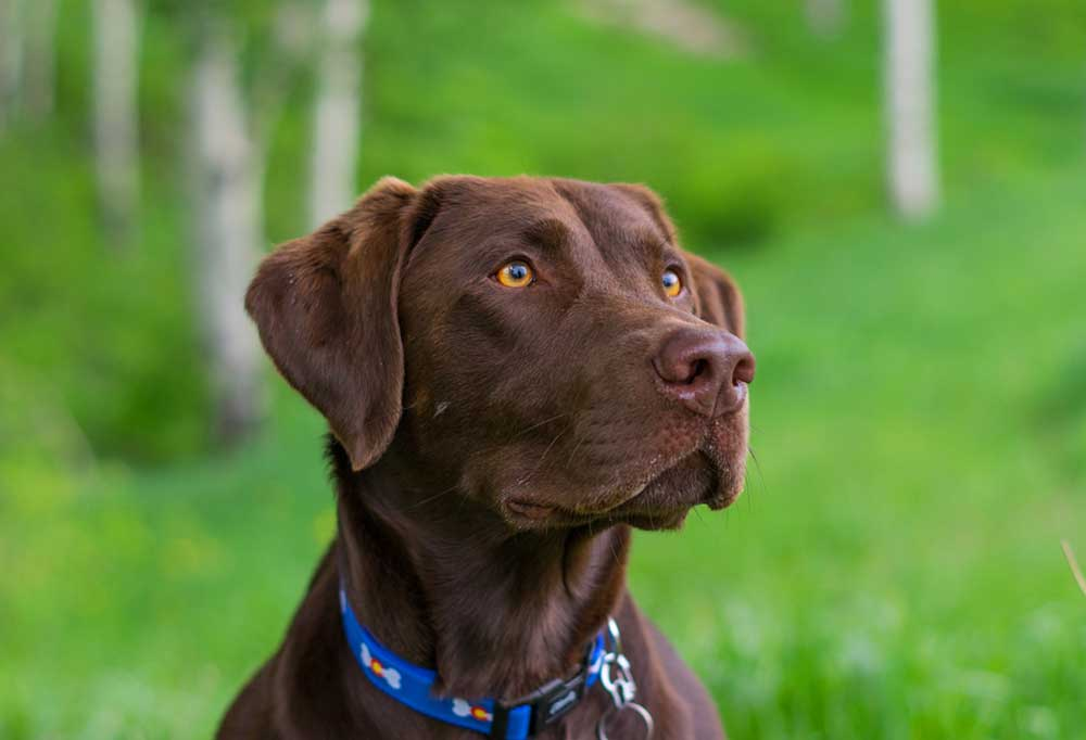 Close up of chocolate Labrador Retriever outdoors with grass and trees in background