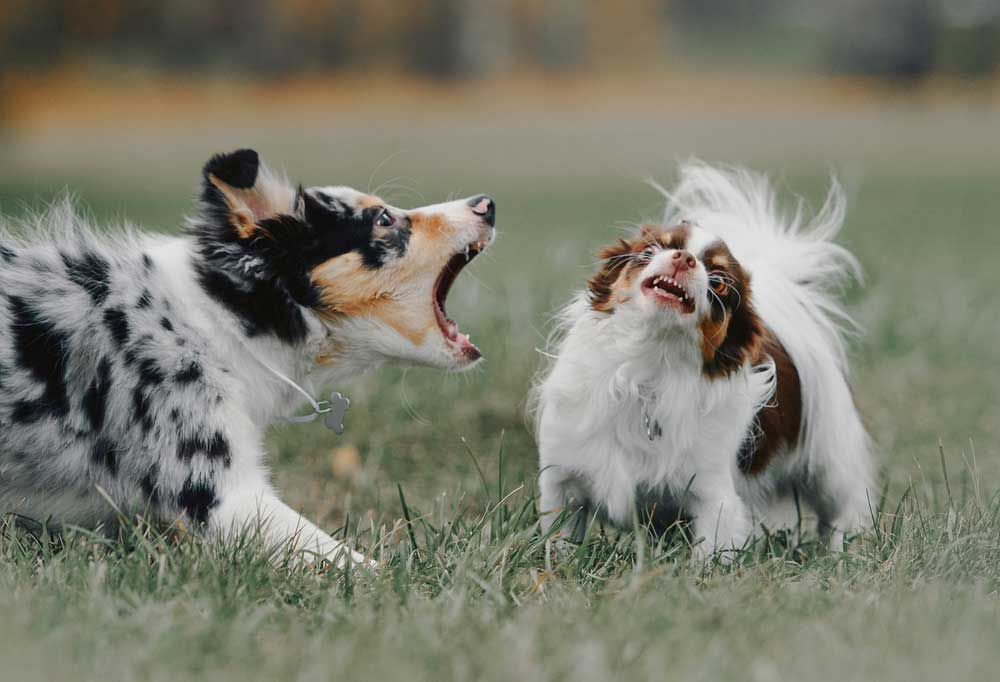 puppy barking at a chihuahua outdoors