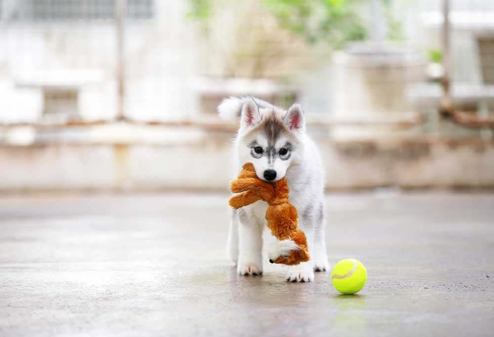 Husky puppy standing outdoors with toys in mouth