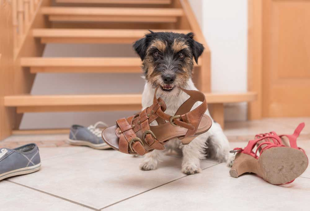 Dog sitting at base of stairs chewing shoes