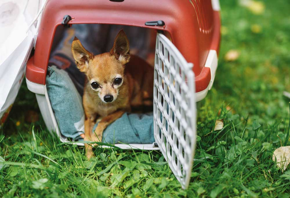Chihuahua sitting in portable travel crate