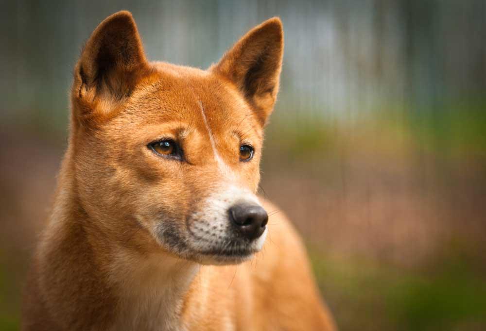 Close up portrait of a Dingo Dog's head
