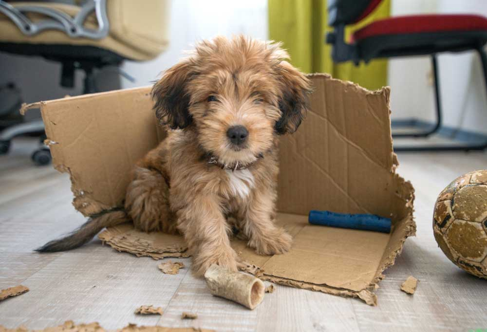 Puppy sitting in box it chewed up