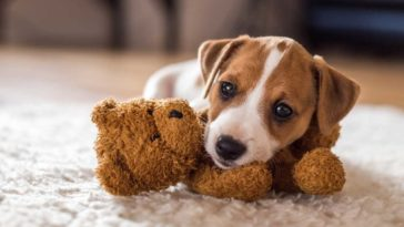Jack Russel Terrier puppy with head resting on teddy bear laying on a rug