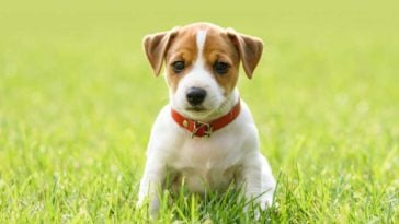 Jack Russell Puppy sitting in grass