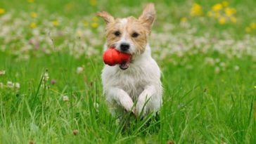 Dog running through field of grass with a red Kong in its mouth