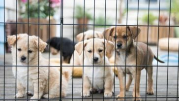5 Puppies on a porch in a puppy pen