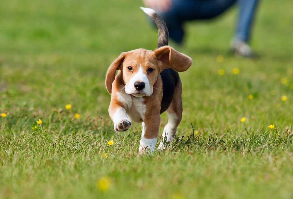Beagle puppy running across grass
