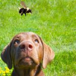 Brown puppy standing in grass looking up overhead at a bumble bee