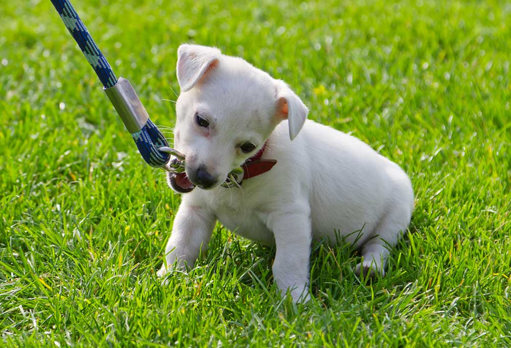 Small white puppy chewing leash