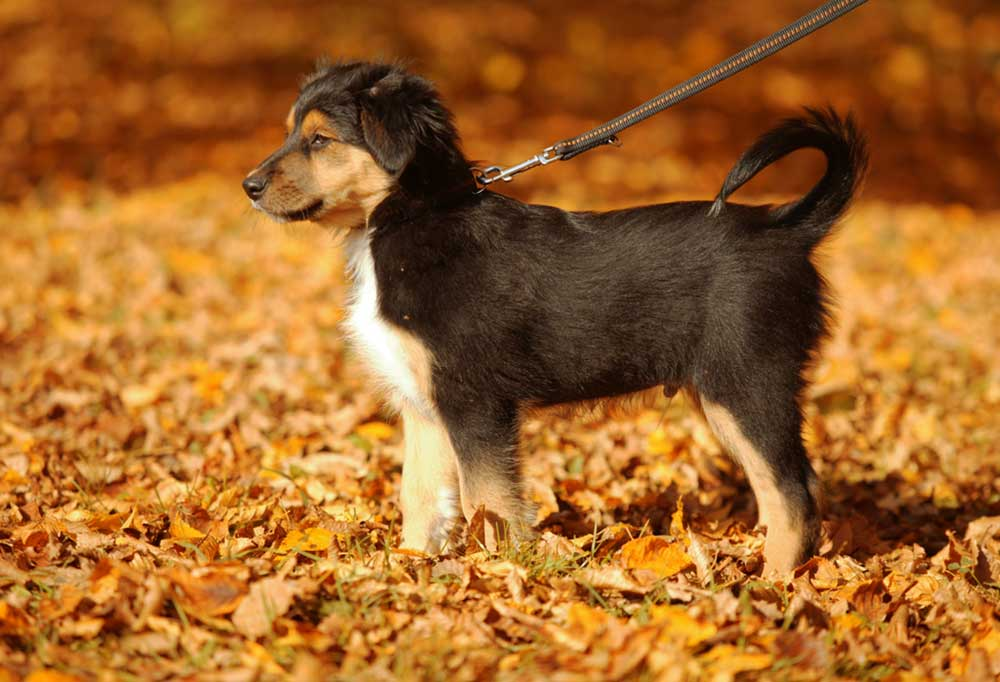 Puppy standing in fall leaves attached to leash