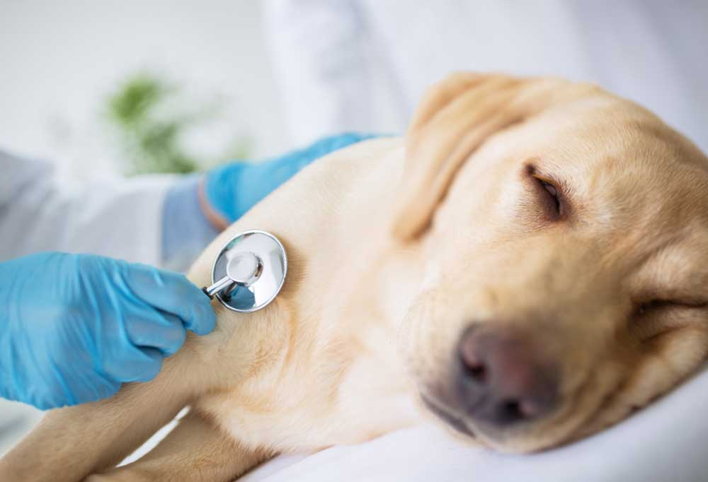 vet listening to sick dogs heart