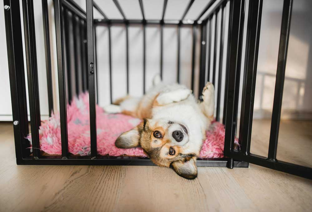 Corgi laying on its back in the doorway of a dog crate
