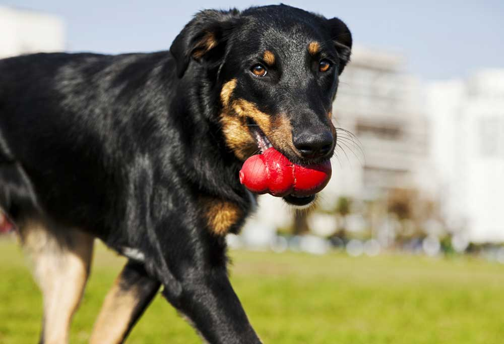 Black and brown dog with a red Kong in its mouth walking in a park