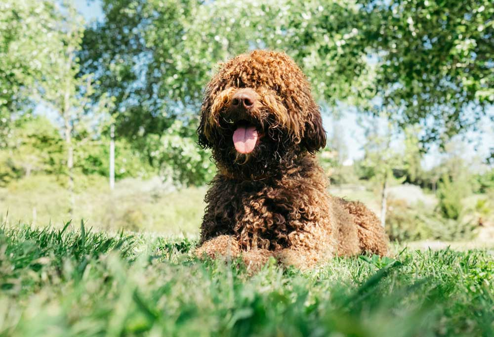 Spanish Water Dog laying in grass with a hill and trees in the background