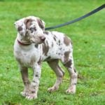 Dappled puppy on leash outdoors in grass