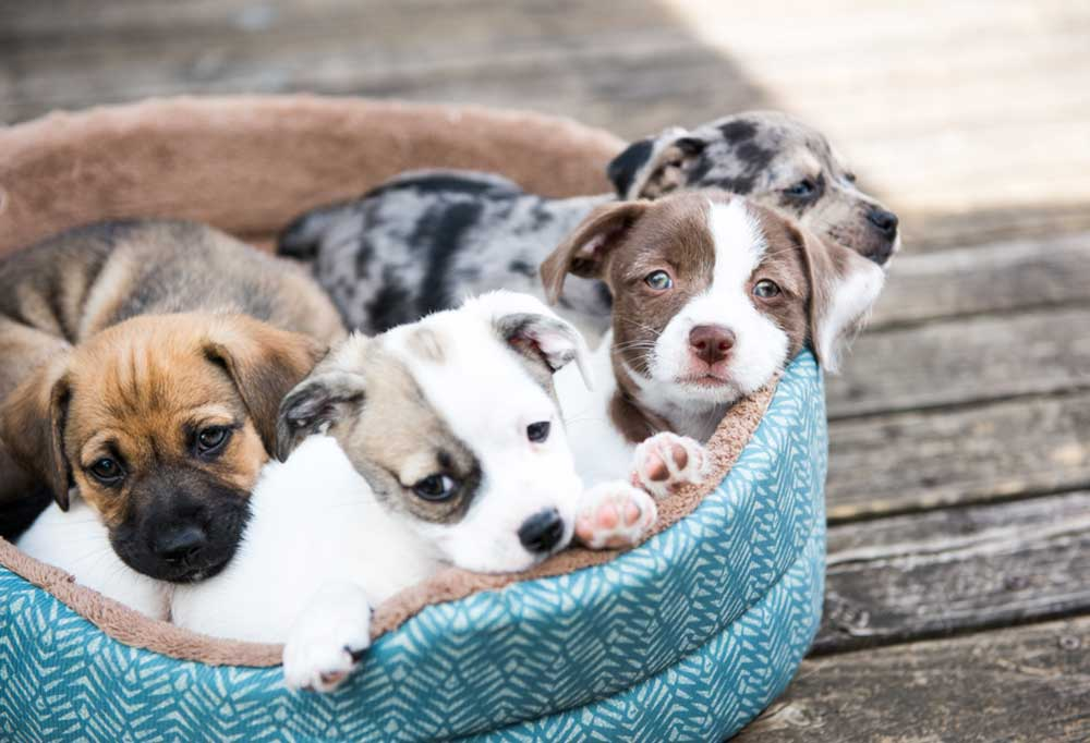 4 puppies in a dog bed