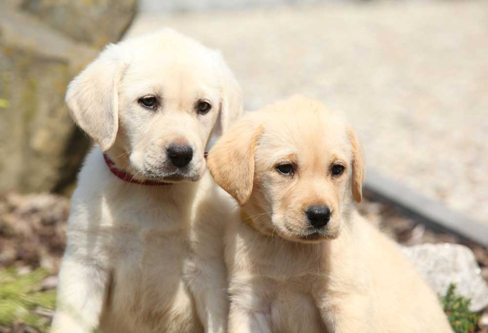 2 Yellow lab puppies sitting together outdoors