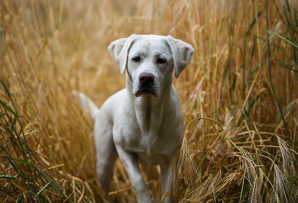 White Labrador Retriever standing in tall wheat