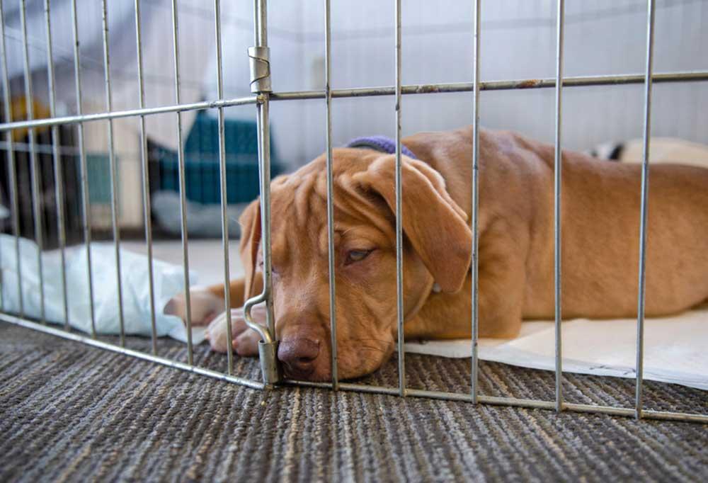 Puppy in a playpen