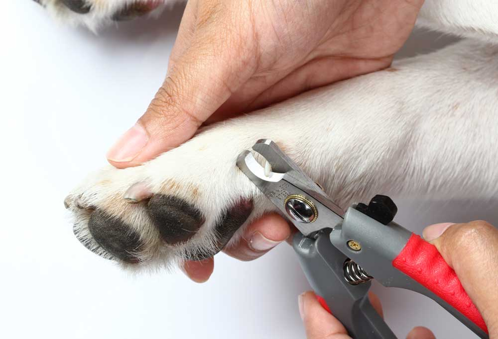 Dog with white paws getting nails trimmed