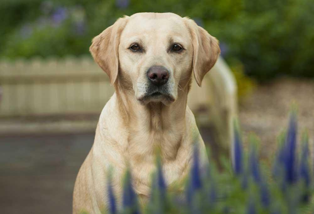 Closeup of Yellow Labrador standing in Lavendar