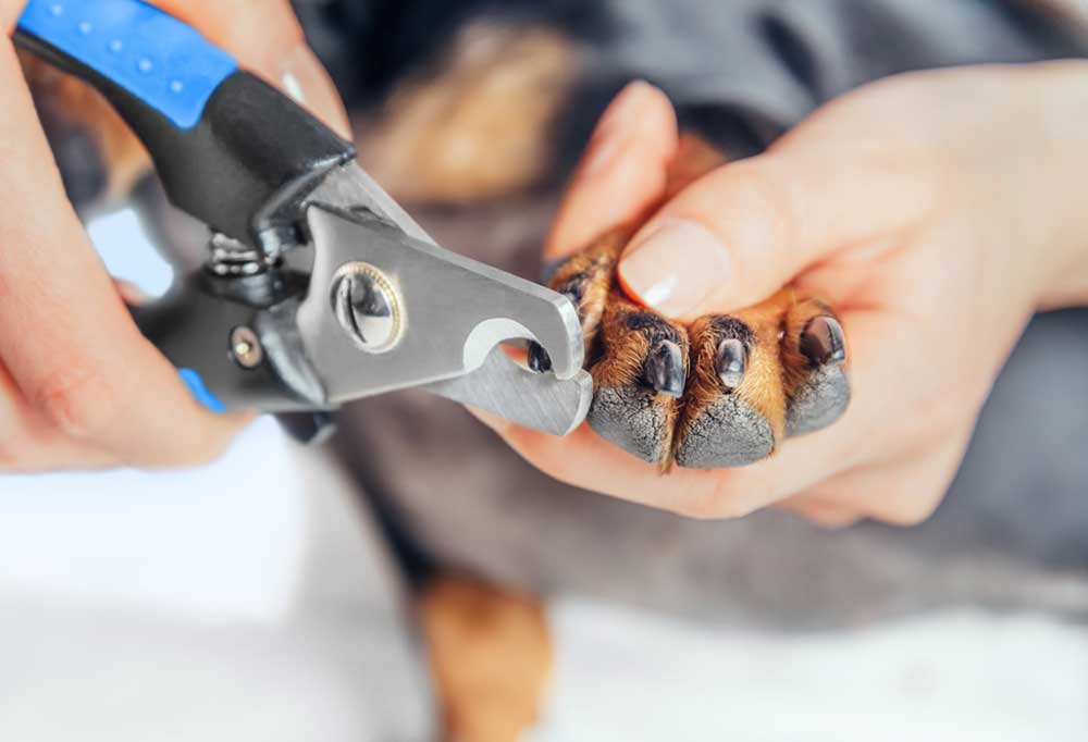 Human hands trimming dog nails with scissor style clippers