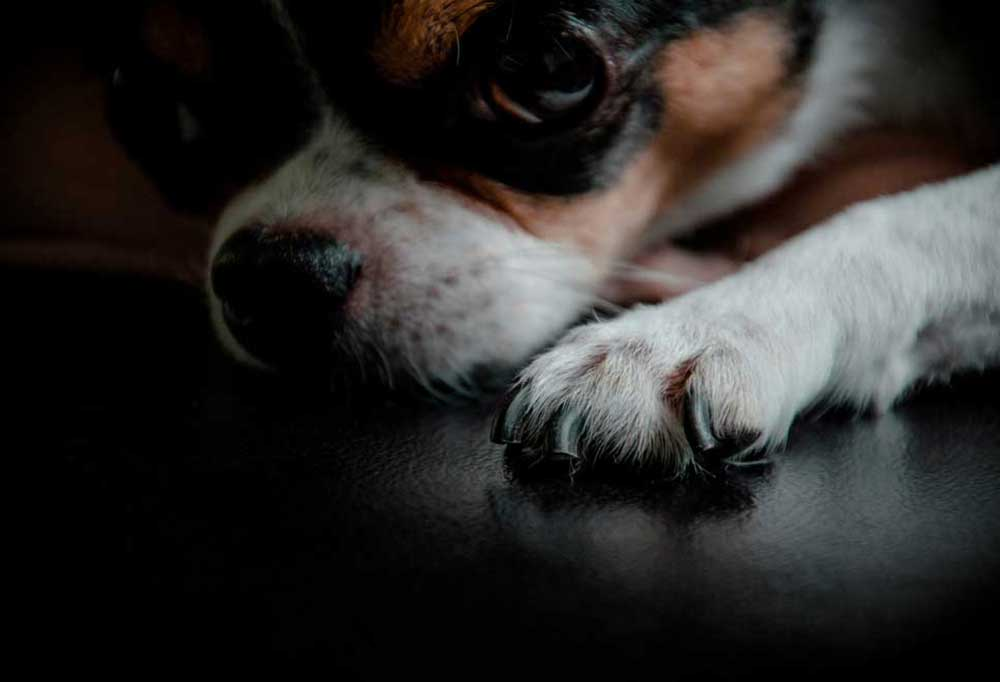 dark portrait of small dog laying down with paw with black nails closest to camera