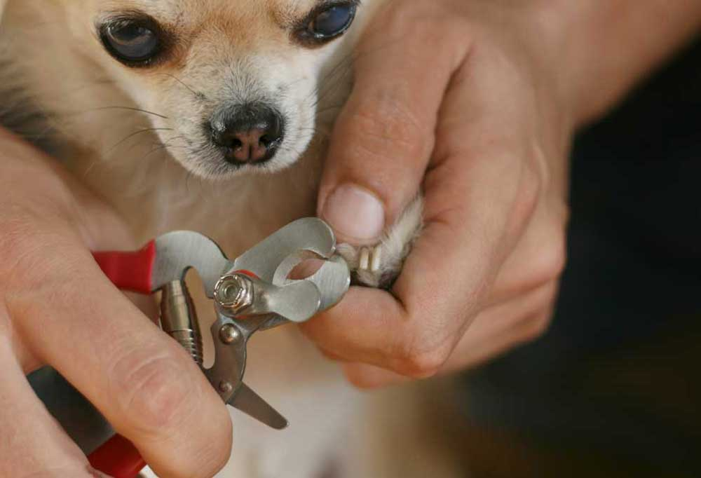 small dog getting nails trimmed