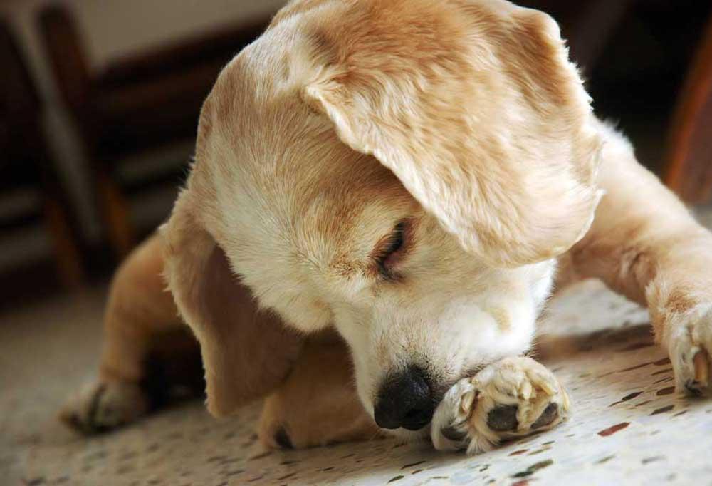 dog biting at itchy paw