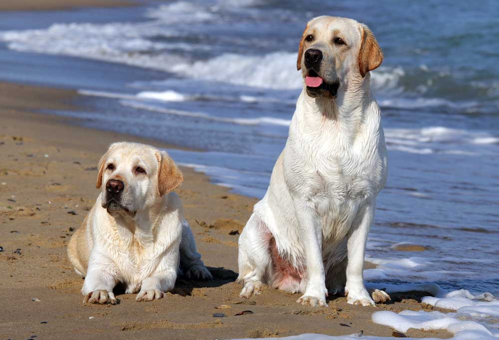 Two yellow labs laying on the beach