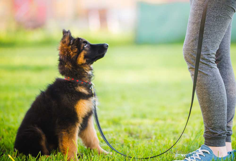 German Shepherd Puppy on a leash sitting at persons feet in the grass