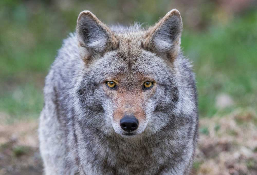 Head on stare from a coyote outdoors