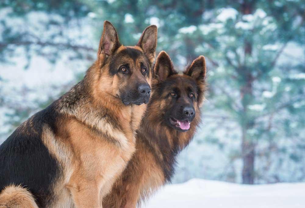 Pair of German Shepherds in the snow