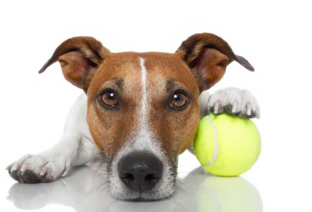 Jack Russell Terrier with tennis ball