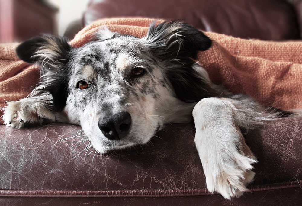 collie laying on couch with a blanket