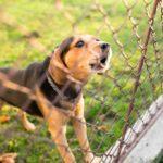 Beagle barking through cyclone fence