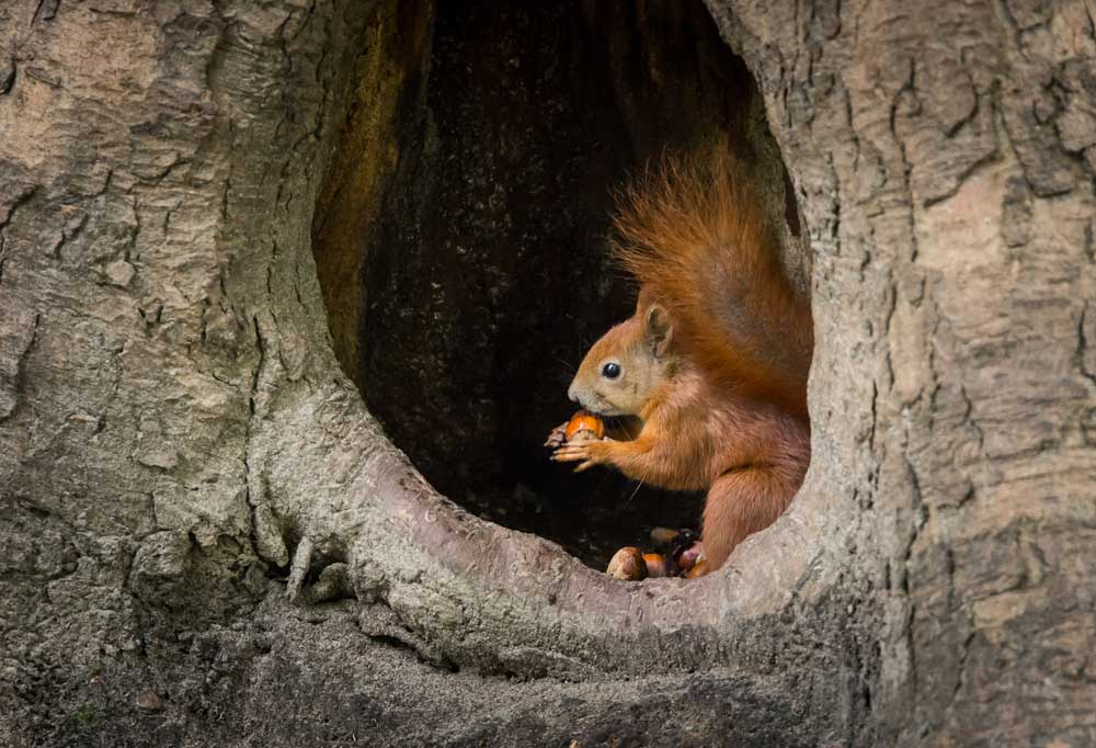 Squirrel in the hollow of a tree eating nuts