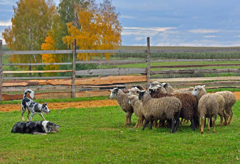2 herding dogs with sheep in a fenced off field of grass