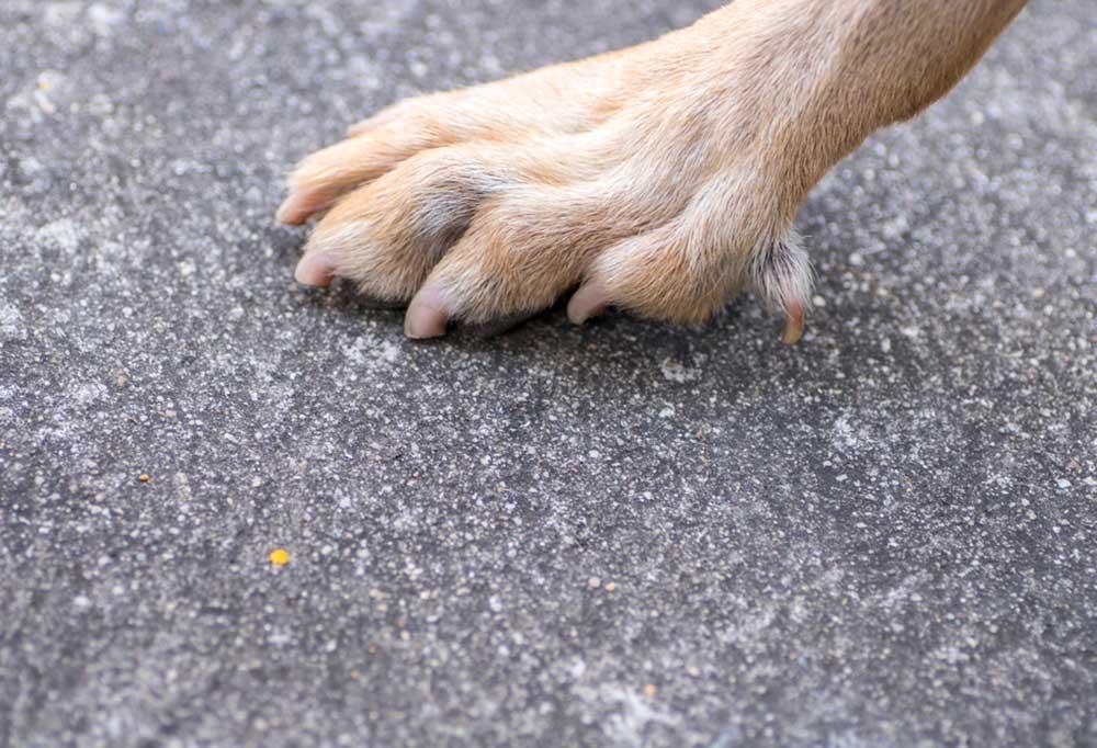 Tan dog paw on asphalt showing dew claw