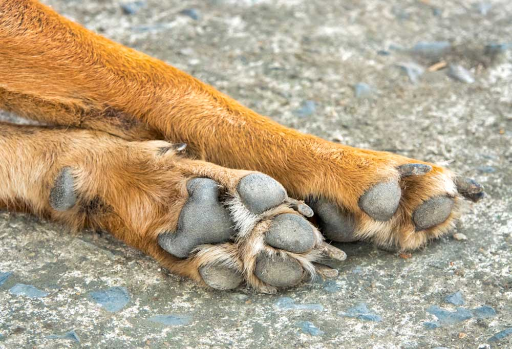 Pad side view of dog paws with dew claw visible